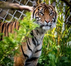 Tigress12