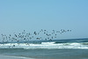 Namibia, A Flock of Cormorants Flies off to Fish