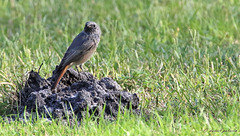 Rougequeue noir - Phoenicurus ochruros - Black Redstart