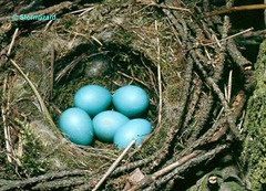 Dunnock nest with eggs in my hedge 2015 M25 01