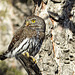 Northern Pygmy-owl - from the archives