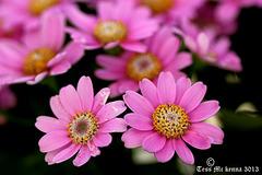Cineraria (Senecio hybridus) 032 copy