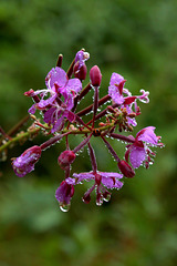Wet Fireweed