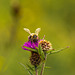 Honey Bee on Thistle 02