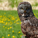 Great Gray Owl - from the archives
