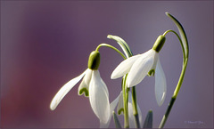 Suddenly I saw this snowdrops back in my file. They are too sweet to remain there until next year...