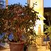 Ficus de Noël... :-)