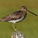 Wilson's Snipe - from the archives