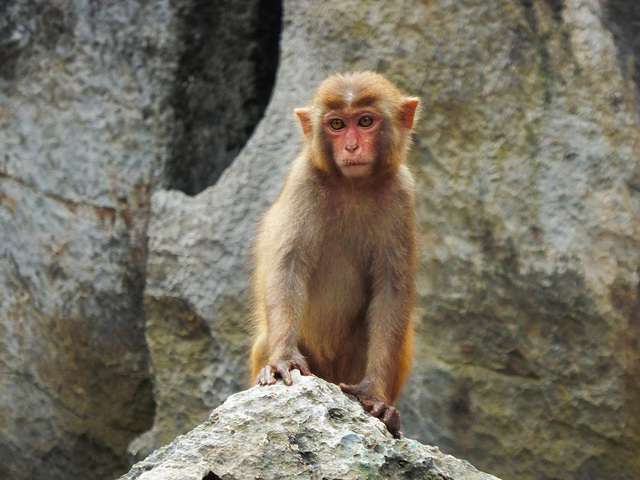 A Rhesus macacque monkey
