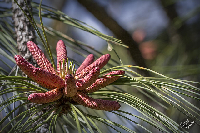 Pictures for Pam, Day 179: Pine Flowers