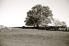 Au pied de l'arbre, une vache contemple le paysage