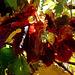 L'automne des vignes en Charente.