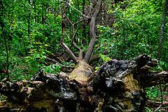 Ein alter Eichenriese - An old oak giant