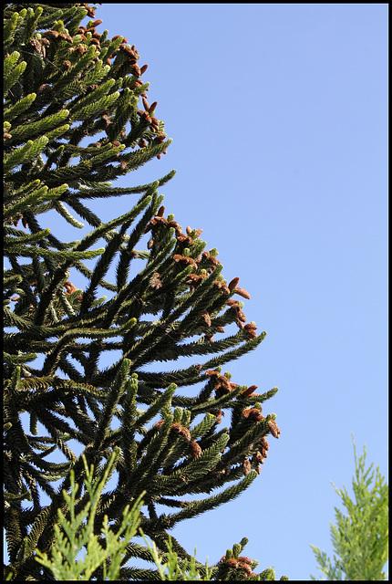 Araucaria mâle (4)