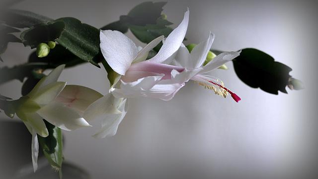 Schlumbergera - le genre - cactus de Noël - Page 7 45838404.e0505325.640