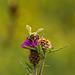 Honey Bee on Thistle 04