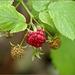 Raspberry, unexpected