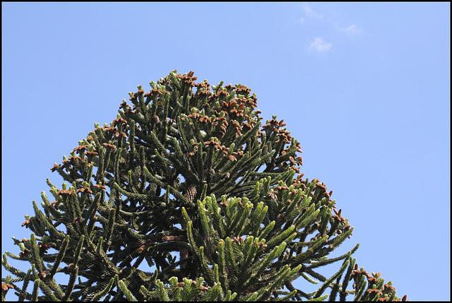 Araucaria mâle (5)