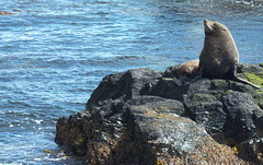 King Sea Lion