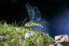 Blaugrüne Mosaikjungfer (Aeshna cyanea) ©UdoSm