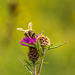 Honey Bee on Thistle 06