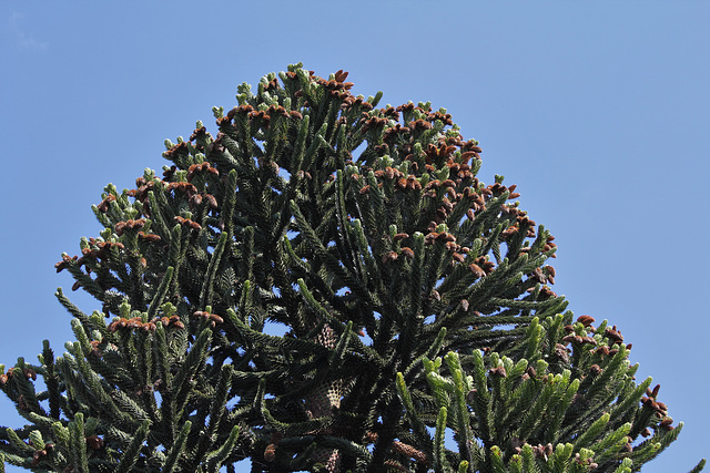 Araucaria mâle (6)