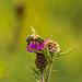 Honey Bee on Thistle 07