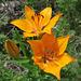 Lis orangé (Lilium bulbiferum), Sentier botanique du Bez, Briançonnais (France)