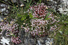 East Pickard Bay - English stonecrop