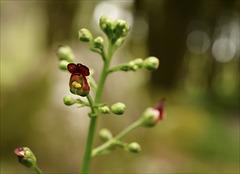 Scrophularia auriculata subsp. auriculata, erva-das-escaldadelas