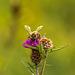 Honey Bee on Thistle 08