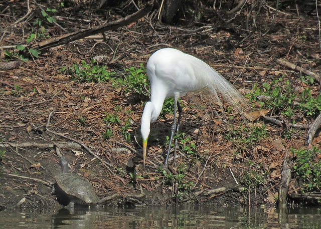 Great Egret and a Turtle