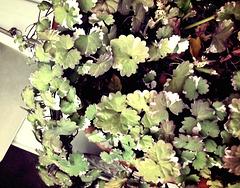 Variegated ground ivy
