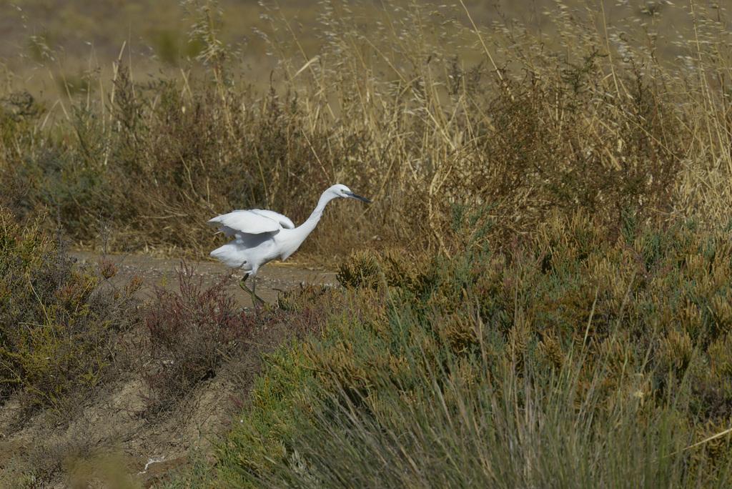 Egretta garzetta, Garça-branca   DSC9928