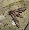 Agrius convolvuli mâle.