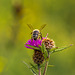 Honey Bee on Thistle 10