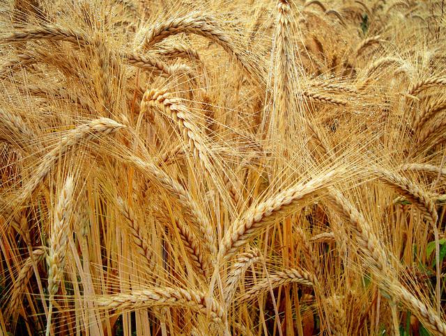 Kapi rose na žitu (Drops the dew on the wheat)