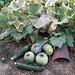 Courgettes bio, pour la ratatouille/piperade (photo n°2)