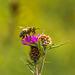 Honey Bee on Thistle 11