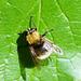 Hummel-Waldschwebfliege