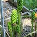Arum maculatum (3)