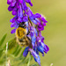 Common-carder Bee