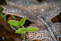 Pictures for Pam, Day 67: Macro Monday: Tiny Frosty Leaves
