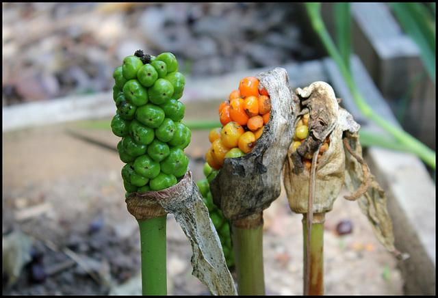 Arum maculatum (4)