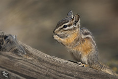 Adorable Chipmunk at LaPine State Park (+6 insets)