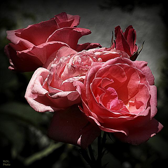 Toute la beauté des Roses