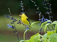 Goldfinch.  6203327