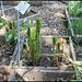 Arum maculatum (5)