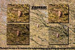 Kestrel collage.