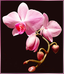 Orchids 1. ©UdoSm